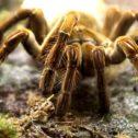 Tarantulas & Giant Spiders!