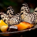 Butterflies Feeding