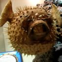 Blowfish/Puffer Fish