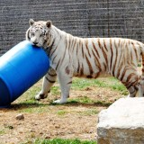 White Tiger Playing