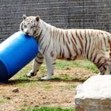 White Tiger Playing